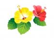 赤と黄色いハイビスカスのイラスト素材 無料イラストダウンロード