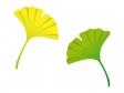 銀杏(いちょう)の葉のイラスト素材02