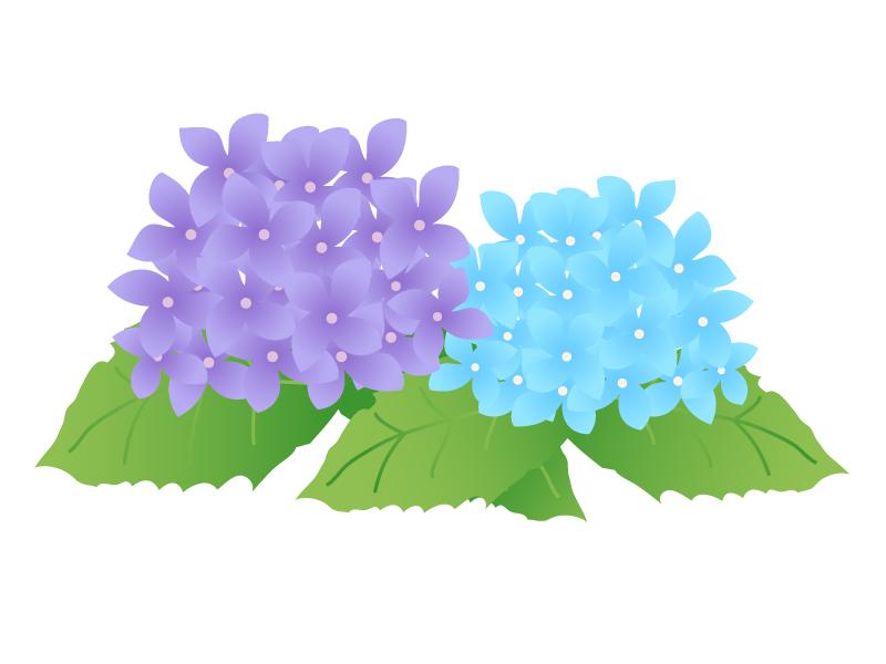 青と紫の紫陽花(あじさい)のイラスト素材