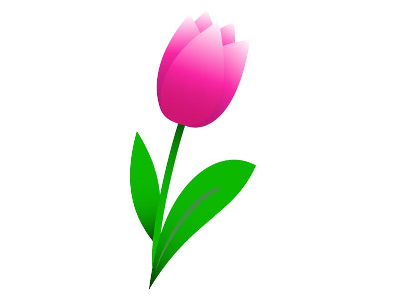 ピンク色のチューリップのイラスト素材