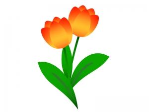 オレンジ色のチューリップのイラスト素材