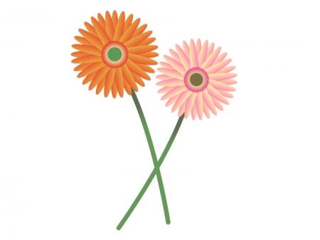 オレンジ色とピンク色のガーベラのイラスト素材
