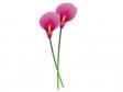 ピンク色のカラー(花)のイラスト素材