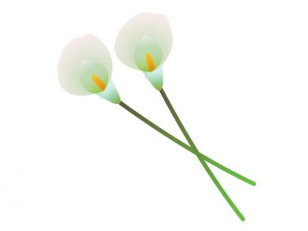 白色のカラー(花)のイラスト素材