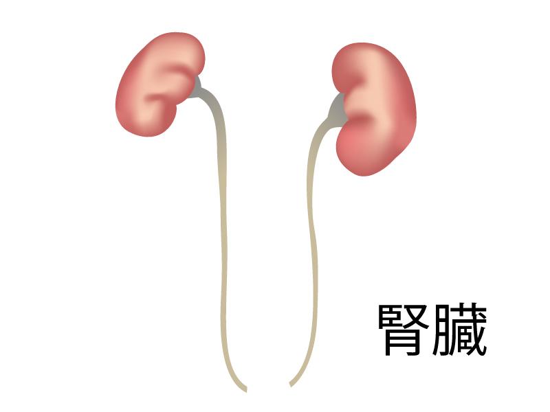 腎臓のイラスト