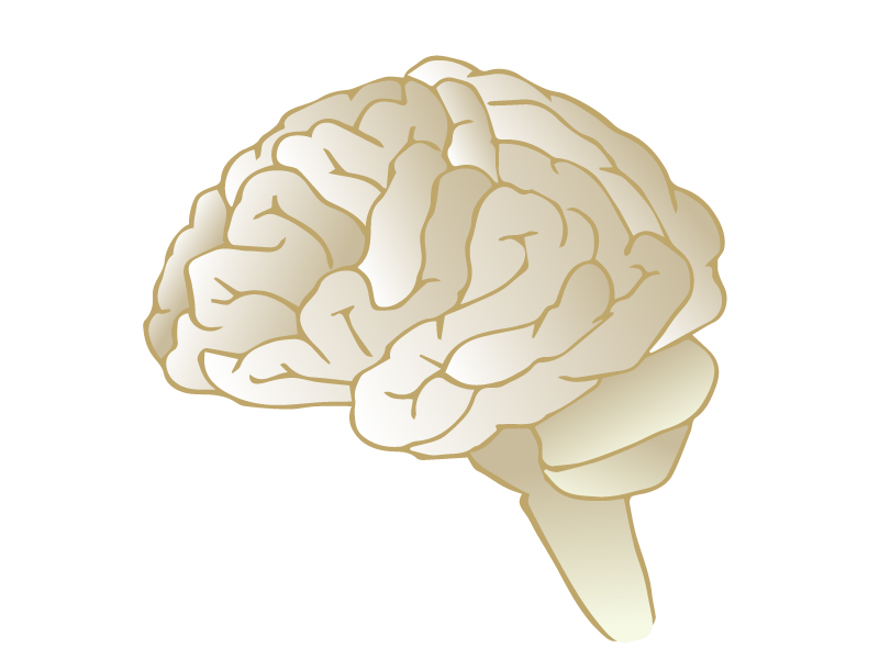 横向きの脳のイラスト