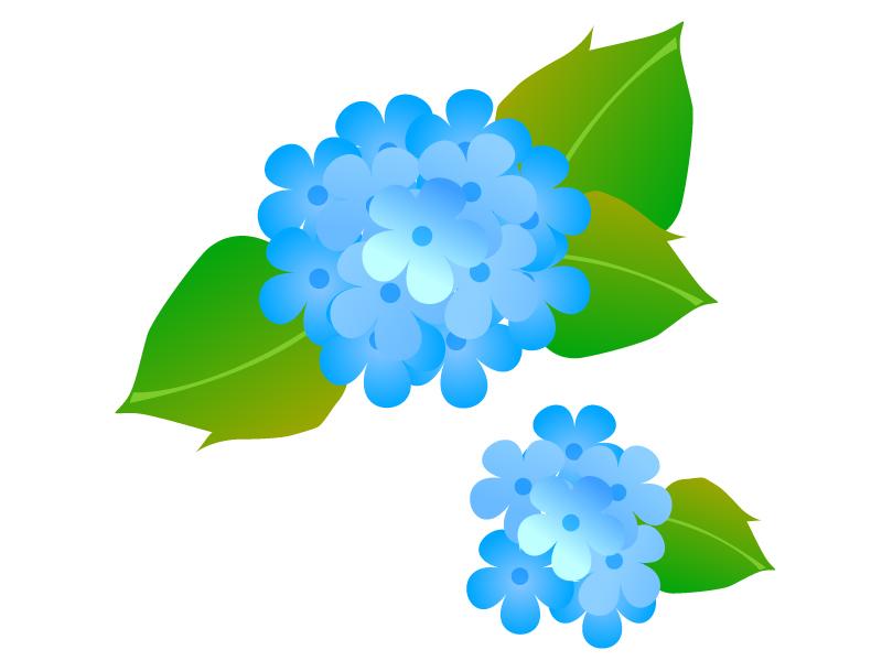青色の二輪の紫陽花のイラスト