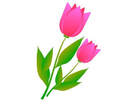 二輪のピンク色のチューリップのイラスト