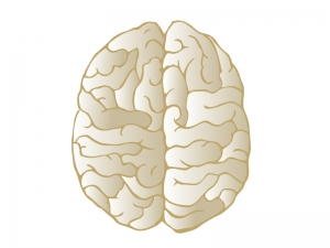 上から見た脳のイラスト