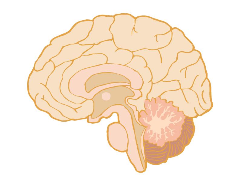 横断面図の脳のイラスト