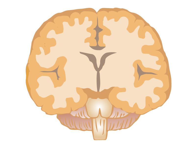 上からの断面図の脳のイラスト
