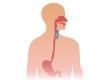 食道から胃のイラスト