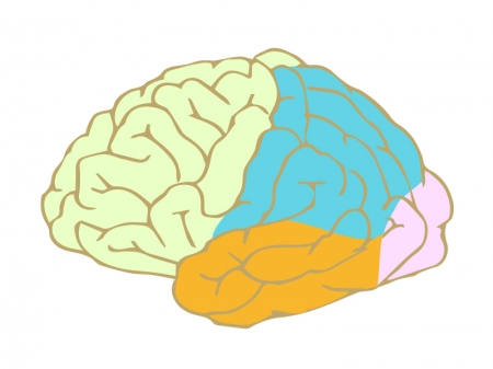 カラーで色分けされた脳のイラスト