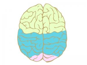 真上から見たカラーで色分けされた脳のイラスト