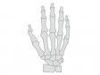 手の骨のイラスト