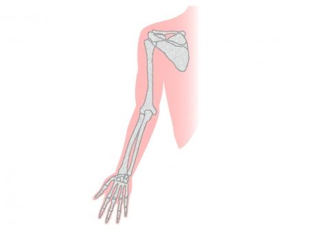 腕の骨のイラスト