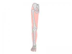 太ももから足の先までの骨のイラスト