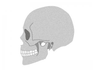 横向きの頭蓋骨のイラスト