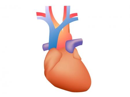 心臓のイラスト