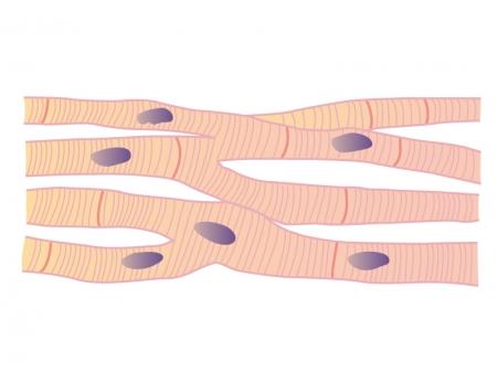 心筋細胞のイラスト