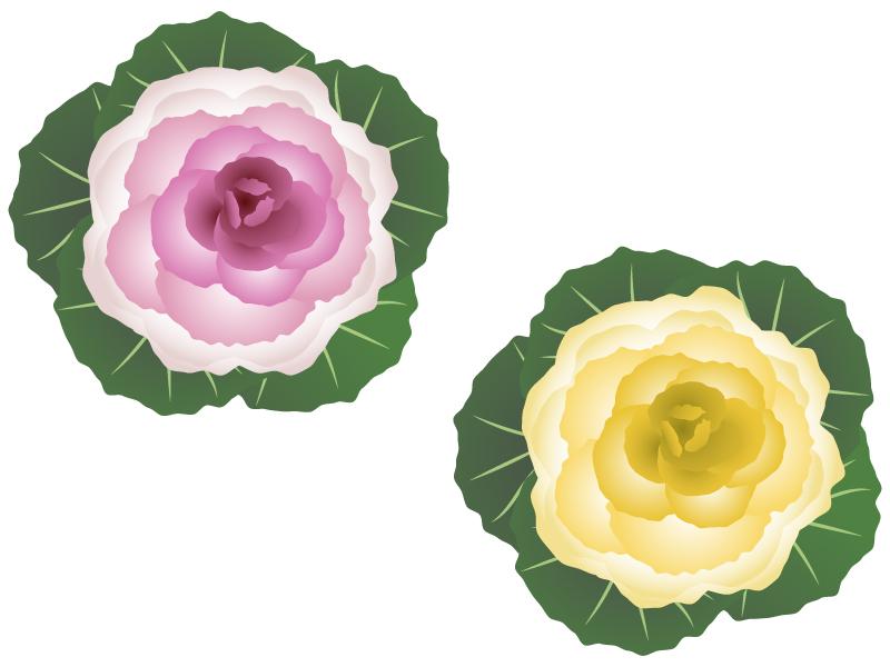 ピンクとクリーム色の葉牡丹のイラスト
