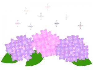 紫とピンクの紫陽花(あじさい)のイラスト素材
