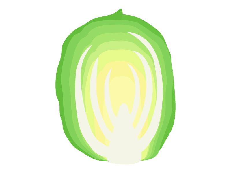 カットした白菜のイラスト