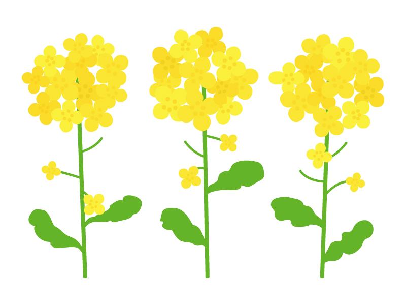 3輪の菜の花のイラスト