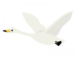 飛んでいる白鳥のイラスト