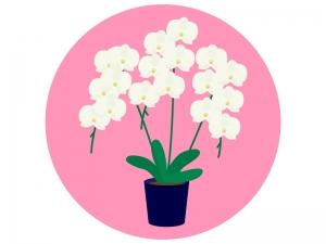 胡蝶蘭のイラスト02
