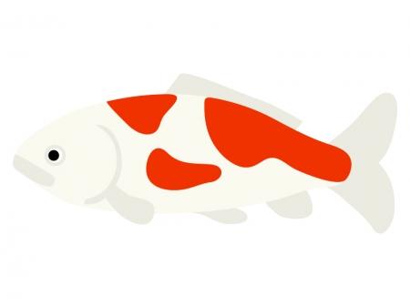 錦鯉のイラスト