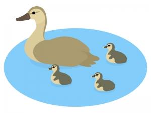 カモ(鴨)の親子のイラスト02
