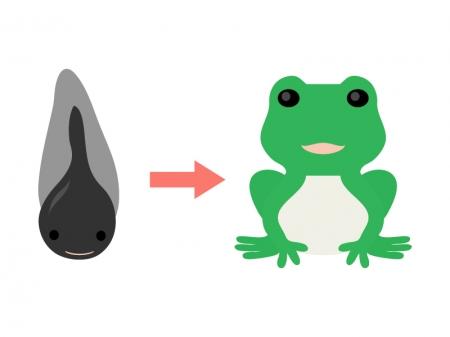 おたまじゃくしからカエルへの成長のイラスト